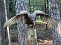 Turkey Vulture RWD at CRC2.jpg