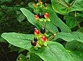 Tutsan berries, Crawfordsburn Glen - geograph.org.uk - 965545.jpg