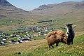 Tvøroyri sheeps 2.jpg