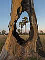 Two Arecaceae in the fields viewed through a hole in a tree trunk in Laos at sunrise.jpg