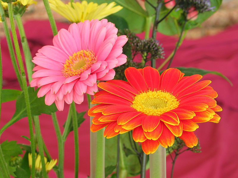 http://upload.wikimedia.org/wikipedia/commons/thumb/6/64/Two_Gerberas.jpg/800px-Two_Gerberas.jpg
