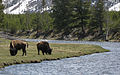 Two bison riverbend Yellowstone.jpg