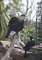 Two tuis near a bird feeder, one fluffed up.jpg