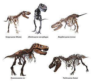 Tyrannosauridae - Skeletal reconstructions of various tyrannosaurids