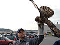 US Navy 071106-N-9860Y-003 Dane Ledbetter, U.S. Department of Agriculture Wildlife Services, holds a juvenile red-tailed hawk that was trapped on boarrd Naval Air Station (NAS) Whidbey Island as part of the bird aircraft strike.jpg
