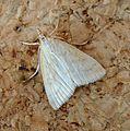 Udea lutealis^ Pyralidae - Flickr - gailhampshire.jpg