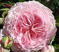 Ulm - Am Tag der Rose auf dem südlichen Münsterplatz.JPG