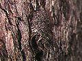 Ummidia.fragaria.nest.-.tanikawa.jpg