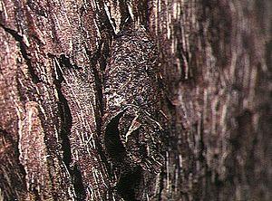 Ctenizidae - Nest of Ummidia fragaria