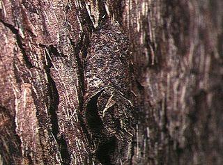 <i>Conothele</i> Genus of spiders