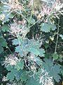 Unbekannte Pflanze aus Süddeutschland 03.jpg