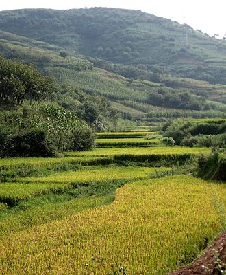 Perennial rice - Level, bunded rice paddies in a Yunnan Province valley.