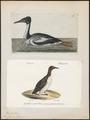 Uria troile - 1700-1880 - Print - Iconographia Zoologica - Special Collections University of Amsterdam - UBA01 IZ17800301.tif