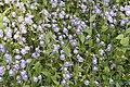 Utricularia sp 1087.jpg