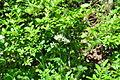 Valeriana sitchensis - Paradise, Mount Rainier, August 2014 - 01.jpg