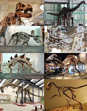 Skeletons of various non-avian dinosaurs Top: Tyrannosaurus, Diplodocus Top middle row: Triceratops, Microraptor Bottom middle row: Stegosaurus, Parasaurolophus Bottom: Argentinosaurus, Deinonychus