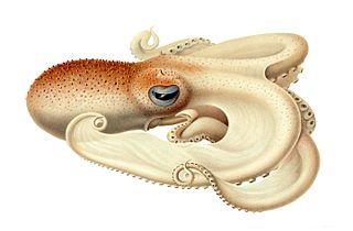 <i>Velodona</i> octopus genus
