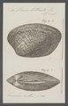 Venus litterata - - Print - Iconographia Zoologica - Special Collections University of Amsterdam - UBAINV0274 077 12 0030.tif