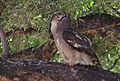 Verreaux's eagle-owl, or giant eagle owl, Bubo lacteus eating a snake at Pafuri, Kruger National Park, South Africa (20498612569).jpg