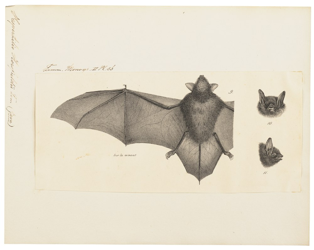 The average adult weight of a Horsfield's bat is 6 grams (0.01 lbs)