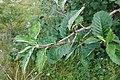 Viburnum lantana, Sambucaceae 05.jpg