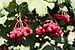 Viburnum opulus 2011 G1.jpg