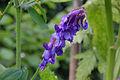 Vicia cracca flowers, vogelwikke bloeiwijze (4.jpg