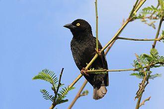 Vieillot's black weaver - P. n. nigerrimus, Uganda