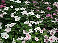 Vinca Rosea from Lalbagh flower show Aug 2013 8019.JPG