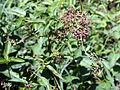 Vincetoxicum rossicum SCA-5116.jpg