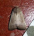 Vine's Rustic. Hoplodrina ambigua - Flickr - gailhampshire.jpg