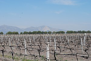 Mexican wine - Vineyard in Ezequiel Montes, Querétaro with the Peña de Bernal in the background