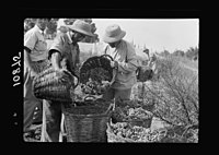 Vintage activities at Richon-le-Zion, Aug. 1939. Collecting grapes in large baskets (close up) LOC matpc.19769.jpg