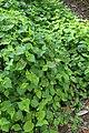 Viola adunca kz03.jpg