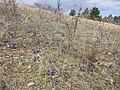 Viola ambigua sl2.jpg
