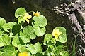 Viola biflora, Bessans - img 22572.jpg