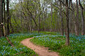 Virginia Blue Bells along Blue Bell Trail, Bull Run Park, Virginia.jpg