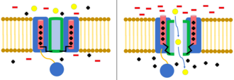 Gating (electrophysiology) - Voltage-gated ion channel. When the membrane is polarized, the voltage sensing domain of the channel shifts, opening the channel to ion flow (ions represented by yellow circles).