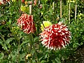 Volunteer Park dahlias 02.jpg
