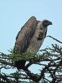 Vulture in Tanzania 2598 cropped Nevit.jpg