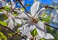 WLE - 2018 - Цвітіння магнолій у ботанічному саду ім. академіка О.В. Фоміна - 3.jpg