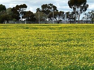 Wasleys, South Australia - Image: Wasleys oval