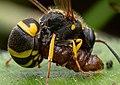 Wasp stinging a Caterpillar.jpg