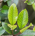 Weinmannia racemosa in West Coast Region 03.jpg