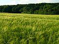 Wheat - panoramio (1).jpg