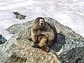Whistler marmot posing.jpg