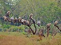 White-backed Vultures (Gyps africanus) (11755729345).jpg