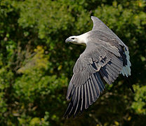 White-bellied Sea Eagle on the Wing.jpg
