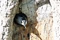 White-breasted Nuthatch (nesting) -NMP 6-11-12 1.jpg