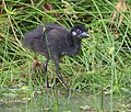 White-breasted waterhen chick - Flickr - Lip Kee.jpg